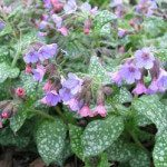 Medical use of Lungwort