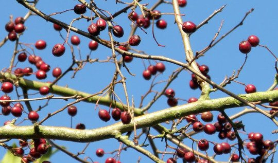 Hawthorn berries are a safe herbal medicine that improves circulation, regulates blood pressure, and eases other heart-related conditions. In this post, learn how to make a tincture from the berries that you can use at home.