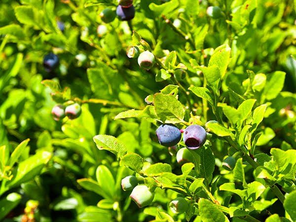 Recipe for Bilberry Muffins - Bilberries are wild cousins of Blueberries and can be picked in the highlands during early summer #brunch