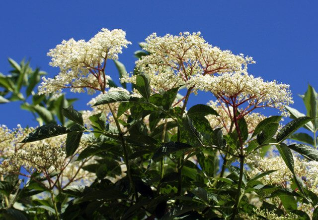 Pick sweet Elderflowers in June and July and use them to make a delicious sparkling wine perfect for celebrating the summer