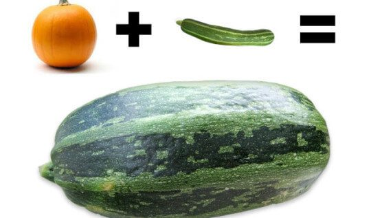 The Pumpkini Surprise: pumpkin crossed with a zucchini