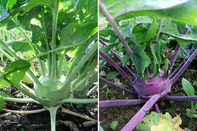 Winter Gardening: Storing Root Vegetables in the Ground