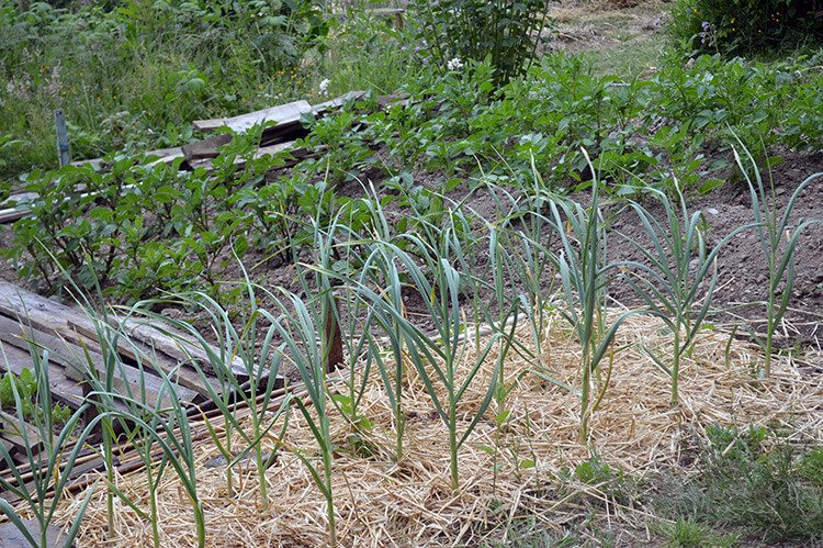 grow-garlic