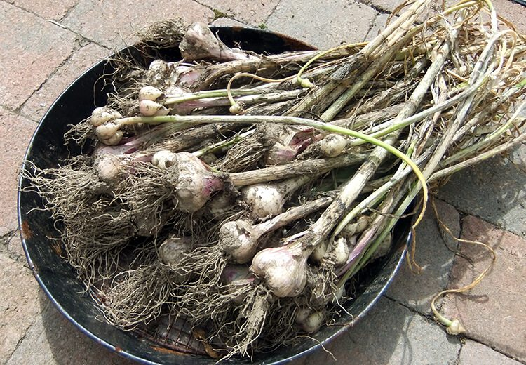 Growing Garlic & giving up on Jerusalem Artichokes