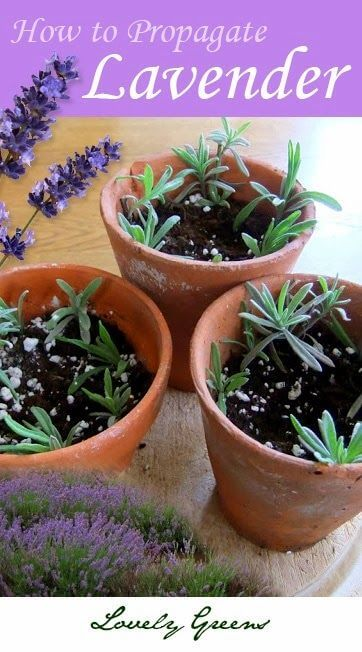 Plants for free: How to Propagate new Lavender plants from cuttings