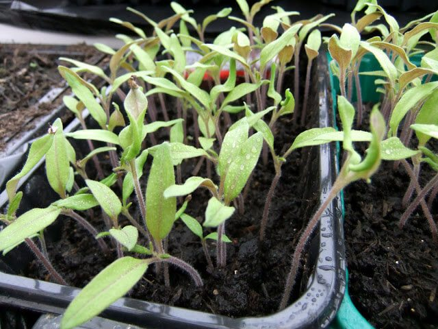 Pricking out Tomato Seedlings