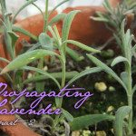 Propagating Lavender…Part 2