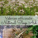 Growing Valerian: a Natural Sleep Aid