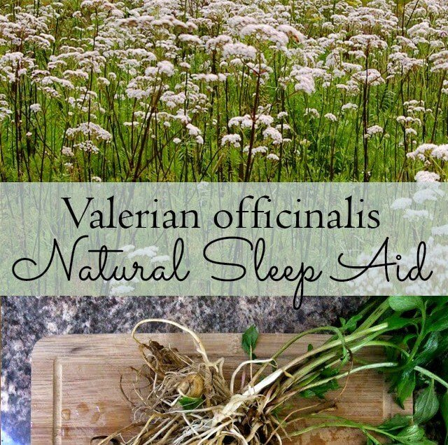 Valerian officinalis - a natural sleep aid that you can grow in your own garden