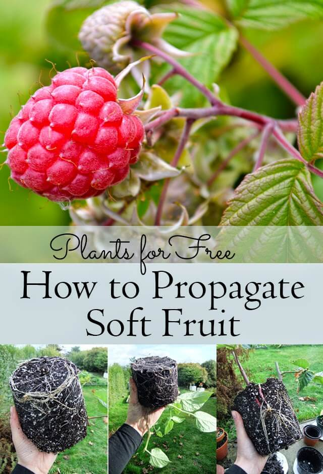 Plants for Free -- How to Propagate Soft Fruit Bushes