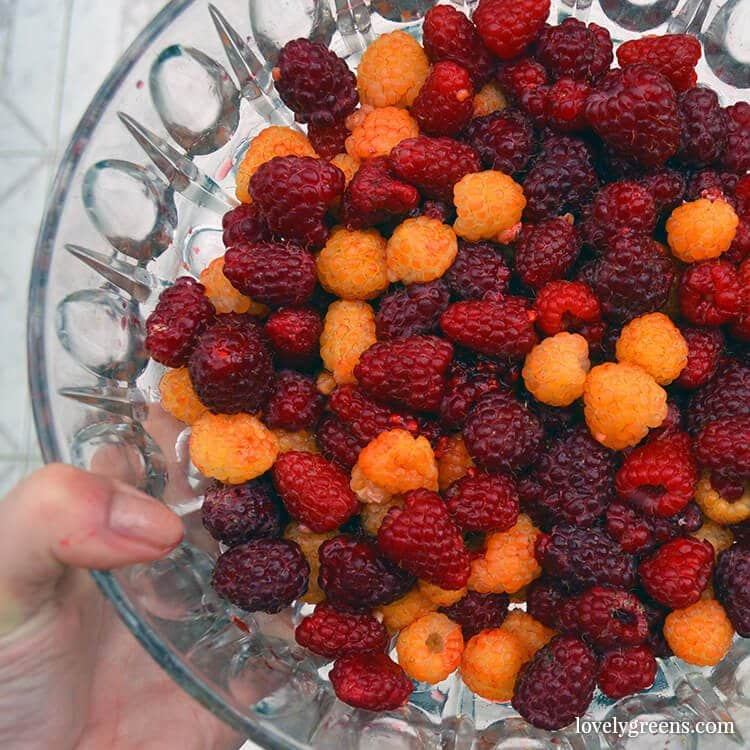 Red and Yellow Raspberry bushes can be propagated this way