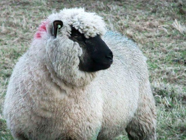 shropshire-ewe