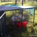 How and why to keep hens in chicken tractors