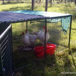 Chicken Tractors: Moveable Chicken Pens