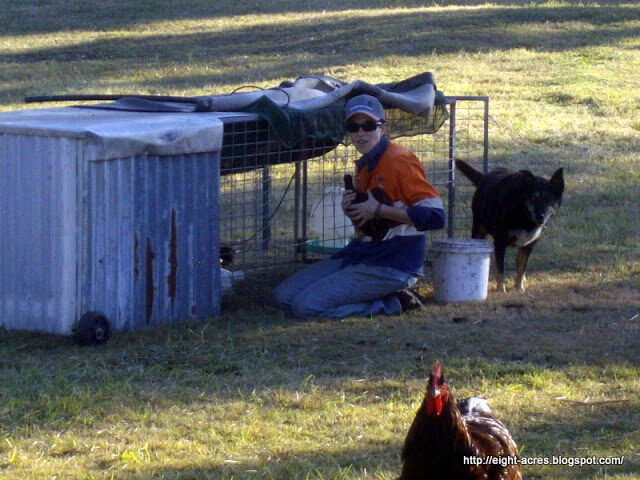 How and why to keep hens in Chicken Tractors. Chicken tractors can come in many different forms depending on your climate, the number and type chickens you keep, available material, whether you will move them by hand or machine. This is an introduction to the ones we use along with how we use them on our homestead in Australia #lovelygreens #backyardchickens #homesteading