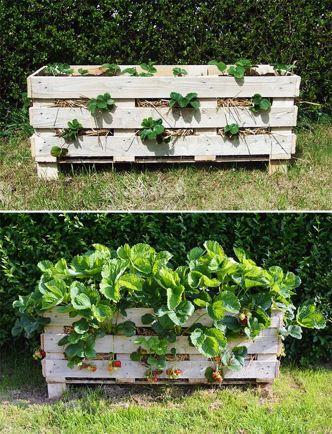 Strawberry Pallet Planter | A Guide to Upcycled Homesteading