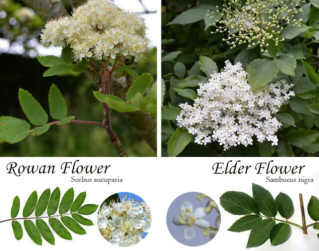 Foraged Elderflower Cordial Recipe: How to make elderflower cordial using fresh elderflowers and lemon juice. Makes three bottles that you can use in refreshing summer drinks, or to make edible flower desserts and recipes #preserving #homesteading #canning