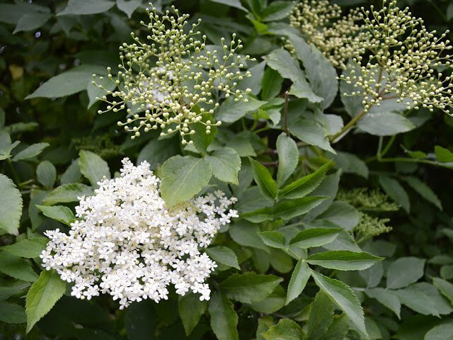 Recipe for Elderflower and Vanilla Jelly - a delicate topping for toast, cakes, and desserts