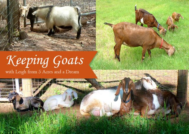 Keeping Goats on a Self-Sufficient Homestead - tips on breeds, care, and personal experience from a goat farmer
