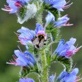 Vipers bugloss (Echium vulgare) is an excellent flower choice for those who are trying to attract bees and pollinating insects to their garden.