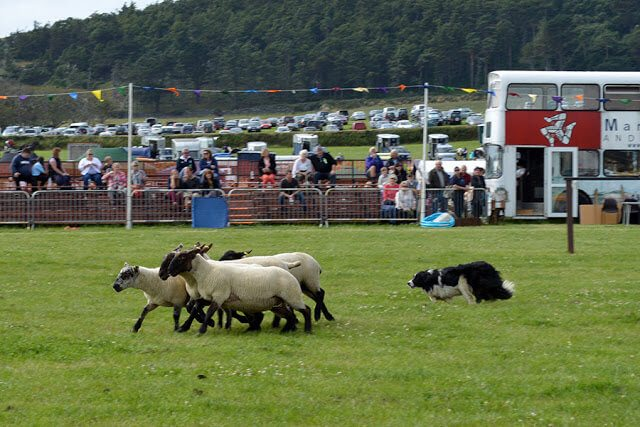 Sheepdog/herding competitions