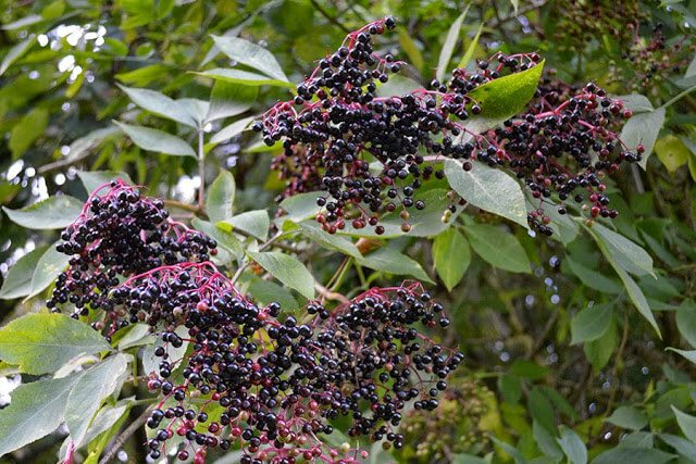 Recipe for Elderberry Syrup - can be used as a delicious dessert topping or as a natural anti-flu medicine #berries