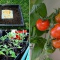 Tips on how to easily save tomato seeds on paper towels and then replant them the following year.