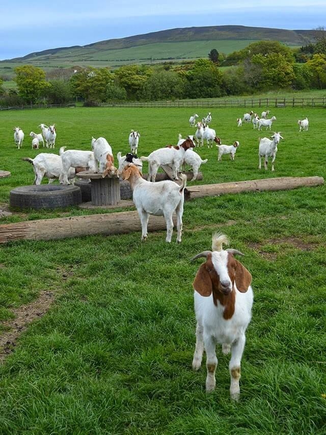 A visit to Isle of Man Goats - a farm that raised both meat goats and goats that produce mohair