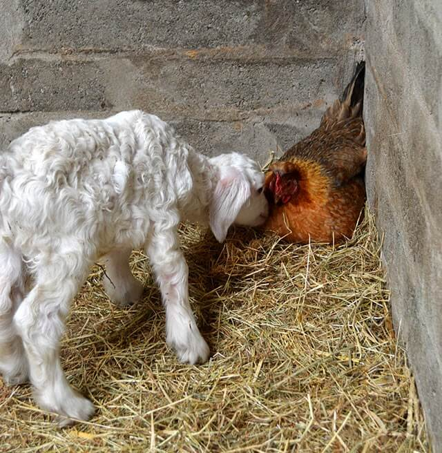 Isle of Man Goats -- a farm specialising in meat and wool goats