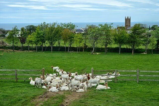 Isle of Man Goats