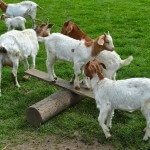 A Visit to Isle of Man Goats
