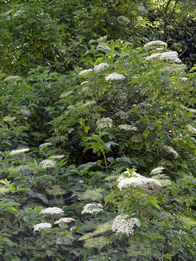 Recipe for homemade Elderflower Cordial - an early summer drink made from the sweet flowers of the Elder tree #drinks