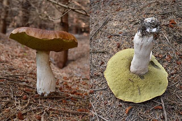 Foraging for Wild Mushrooms: Ceps
