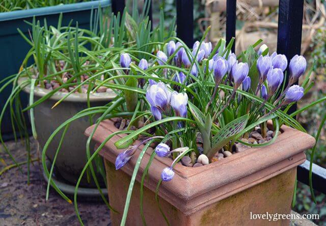 How to plant a pot with bulbs that will flower from February to May