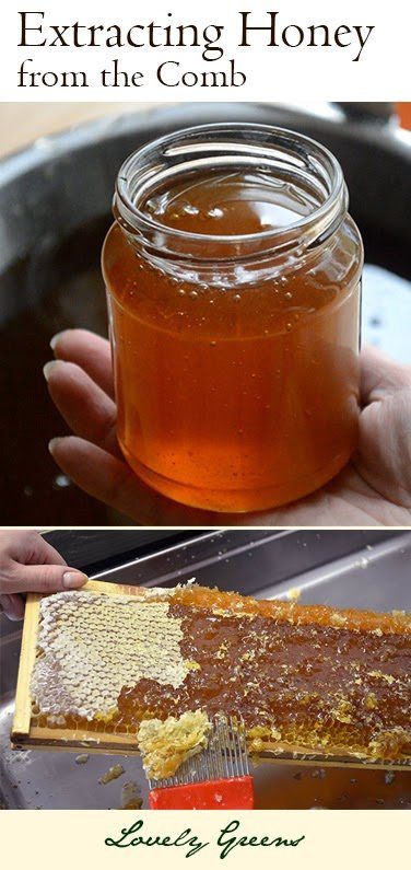 Extracting raw Honey from the Comb - includes spinning the honey from honeycomb, filtering, and settling honey