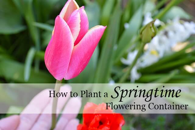Create a Springtime Flowering Container - an easy and beautiful project that will flower all spring! #bulbs