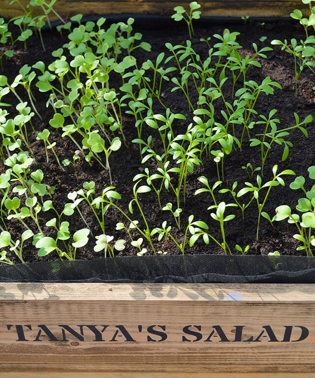 Salad greens are the easiest thing you could try growing and require very little space. Learn how you can grow your own nutritious baby greens and probably end up saving a fortune on your grocery shop too #salad