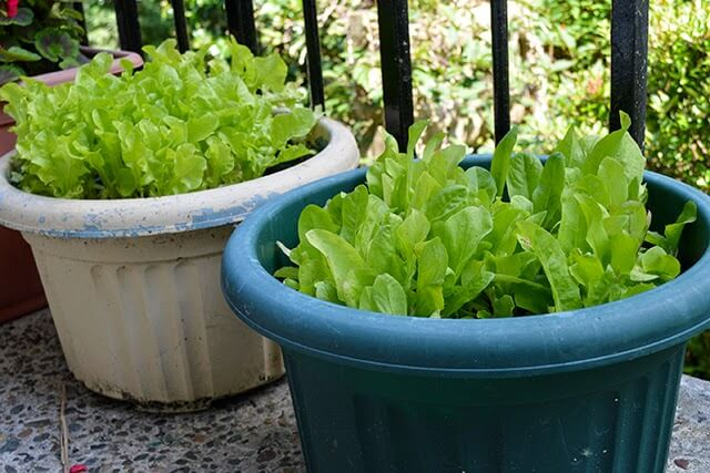 Grow fresh salad greens in small spaces garden living and making with lovely greens - Salads can grow pots eat fresh ...