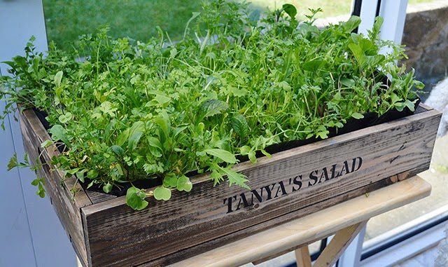 How to grow Cut-and-Come-Again Salad Greens