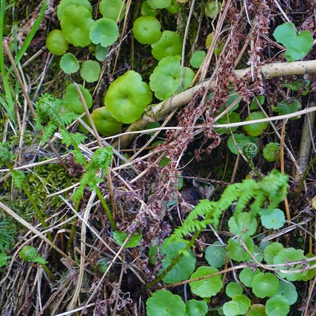 Wall Pennywort (Navelwort) leaves are juicy, crunchy and can be used in salads and sandwiches #wildfood