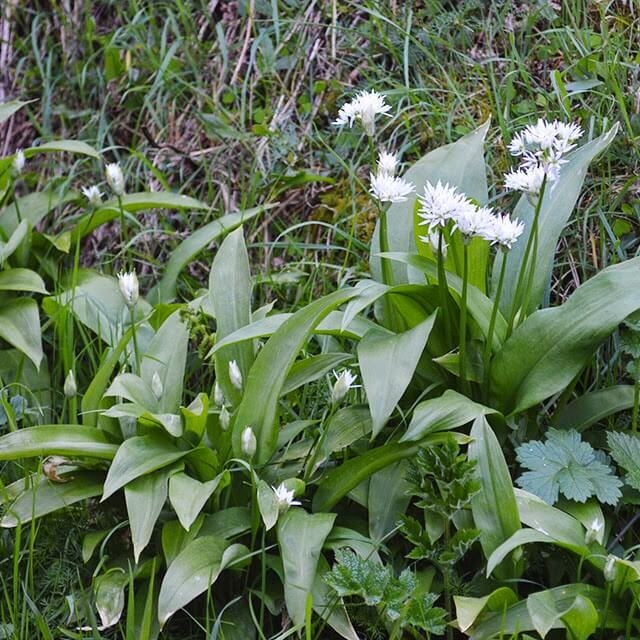 All parts of the wild garlic plant can be eaten both raw and cooked. It smells strongly of garlic and is easy to identify #wildfood