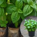 How to divide grocery store Basil into individual plants. Contrary to what some say, this is not difficult and the plants you end up with are strong, healthy and best of all, save you money