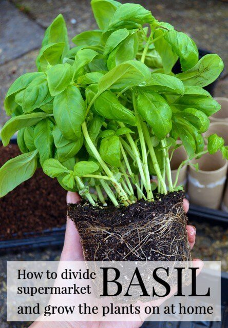 how to grow grocery store basil lovely greens. Black Bedroom Furniture Sets. Home Design Ideas