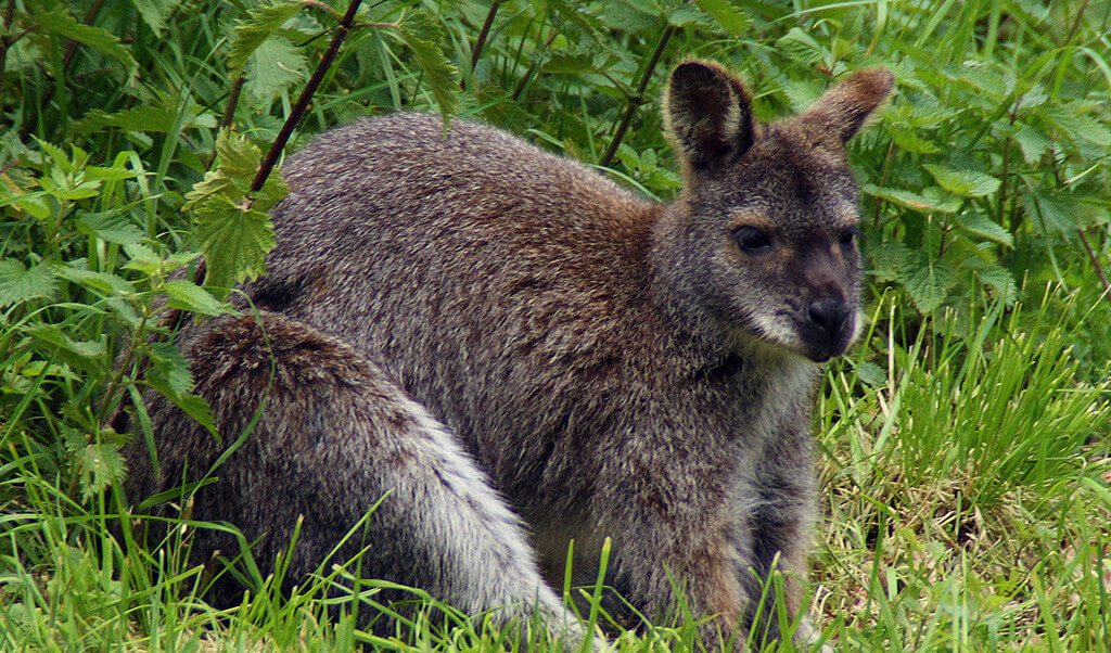 Wallabies on the Isle of Man