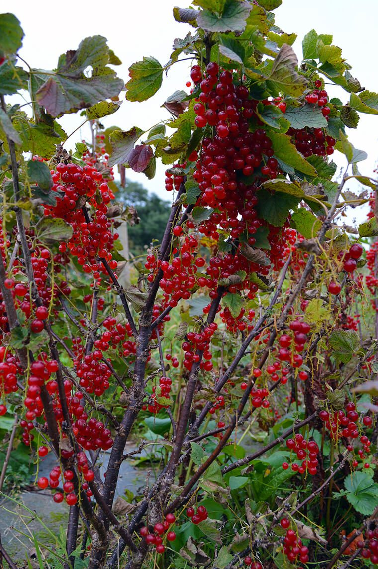 Red currants make excellent jelly that is great with savory dishes like Swedish Meatballs