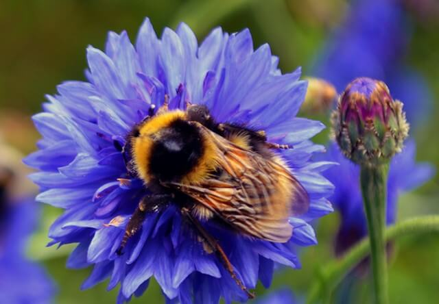 Save our Bees: how to ID and help Bees in the Garden. Learn what you can do to save our bees by identifying which types live in your garden and providing them with the right space, shelter, and food #lovelygreens #savethebees #organicgardening