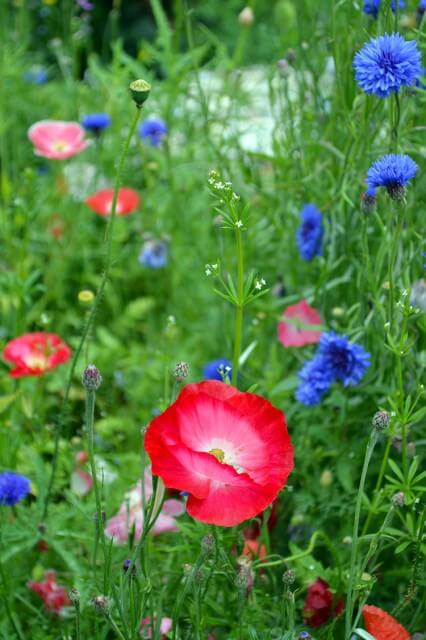 How to grow a Wildflower Cottage Garden #flowergarden