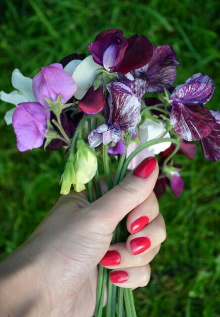 Essential tips for growing sweetly scented sweet peas. Includes how to sow seeds, growing in containers, and picking the right sweet pea variety #flowergarden #gardeningtips #sweetpeas