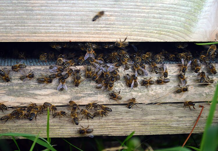 Honeybees at this time of year are still collecting pollen and making honey but the bulk of their harvest is already stored.