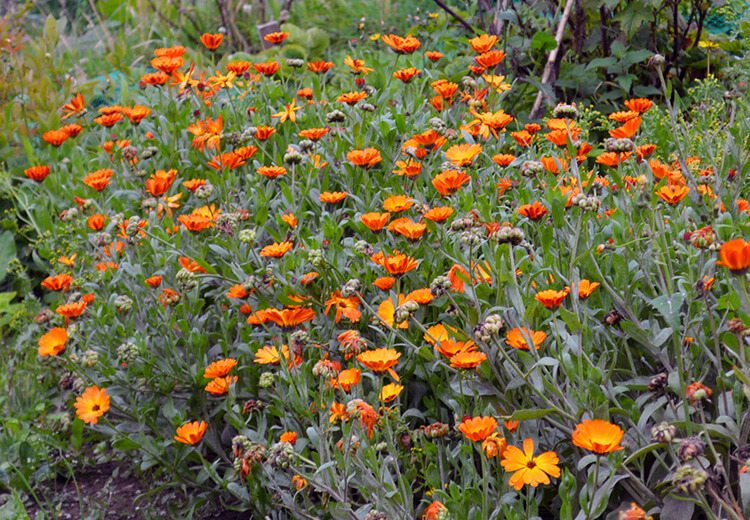 How to grow and use Calendula Flowers in Beauty & Cooking: Calendula petals are a golden edible flower that are also great for use in beauty products and herbal remedies.